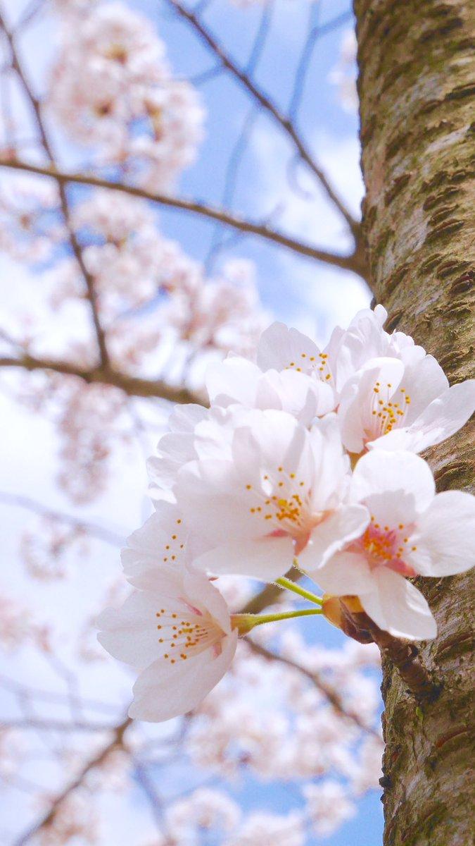 まる On Twitter 桜 Iphone壁紙用にリサイズしてみた 桜 壁紙