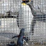 同じ成体でこんなに違うw金網のせいで引き裂かれた親子にしか見えないペンギン!