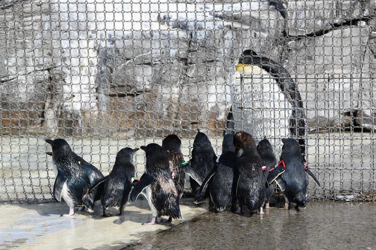 同じ成体でこんなに違うw金網のせいで引き裂かれた親子にしか見えないペンギンwww