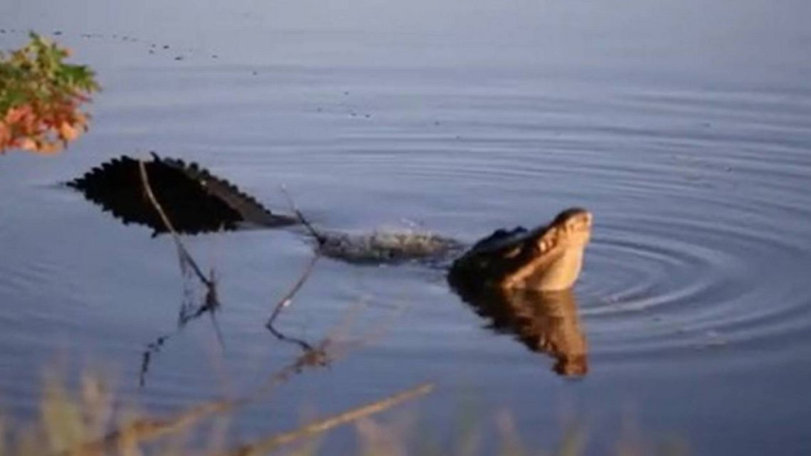 Here's a scary sight: Dozens of bellowing alligators in SC pond for mating season https://t.co/CkvgUbcAIp