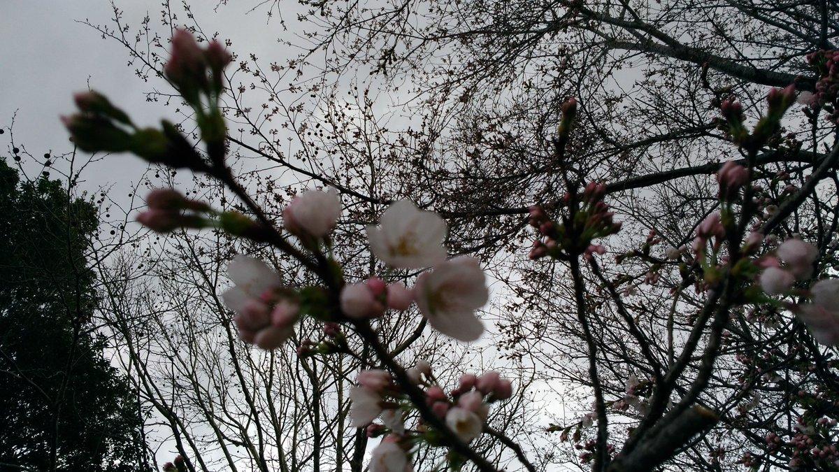もうすぐ見頃🌸ようやく春だぁ🎵 https://t.co/PU1bvK60sV