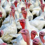 Image for the Tweet beginning: Turkey poop could help save