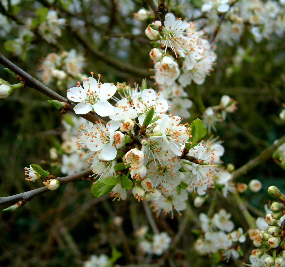 Woodland Trust On Twitter Blackthorns White Flowers Appear On