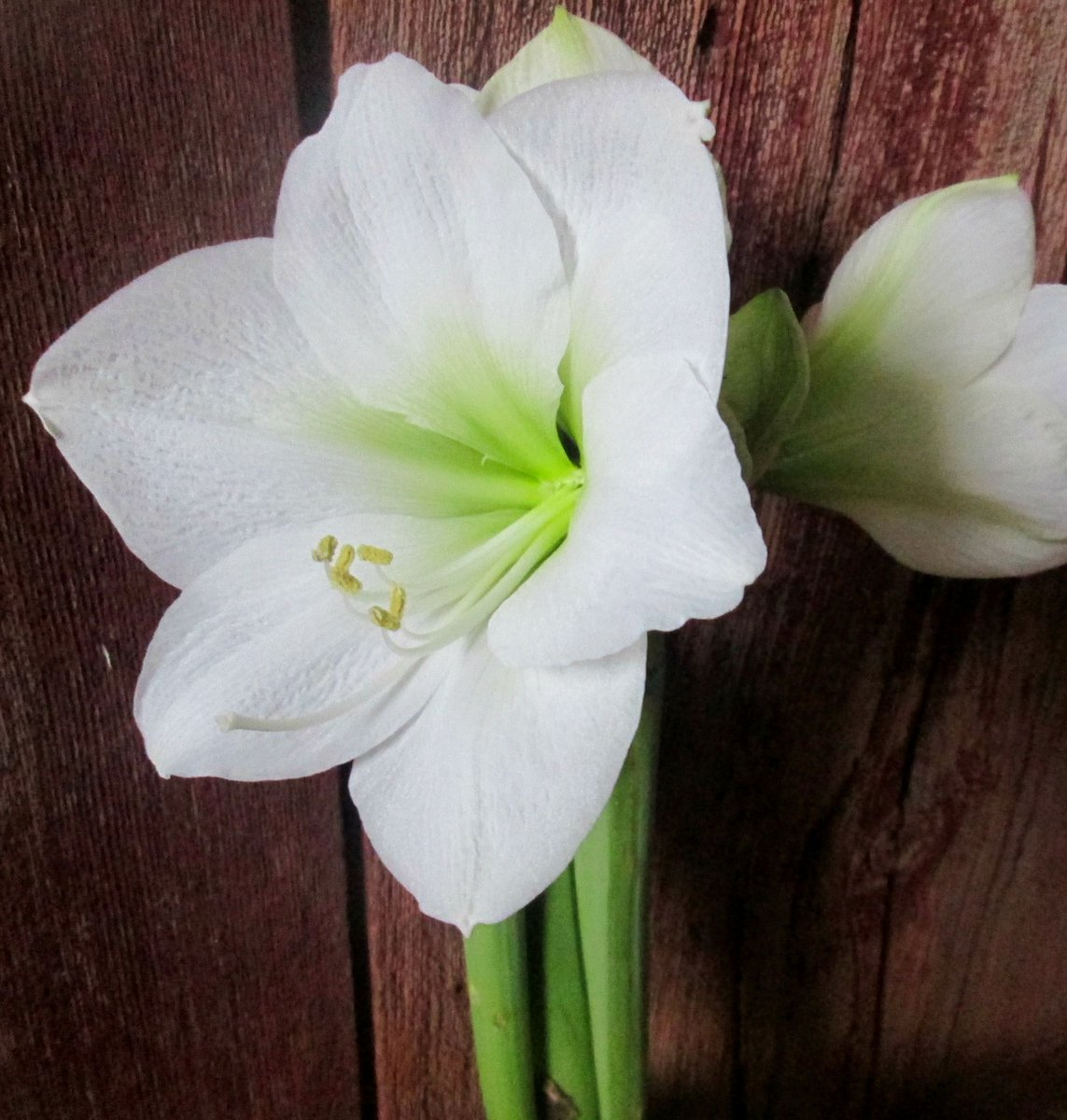 Royal Colors On Twitter Amaryllis Flower Color Meanings White