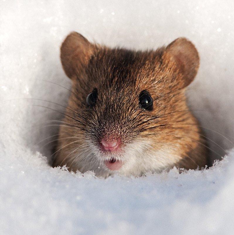 картинки мышей на снегу фото фотографирую так часто