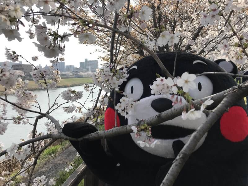 Image result for kumamon and cherry blossoms