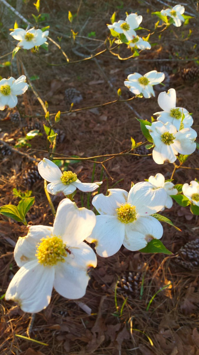 dogwood - Twitter Search