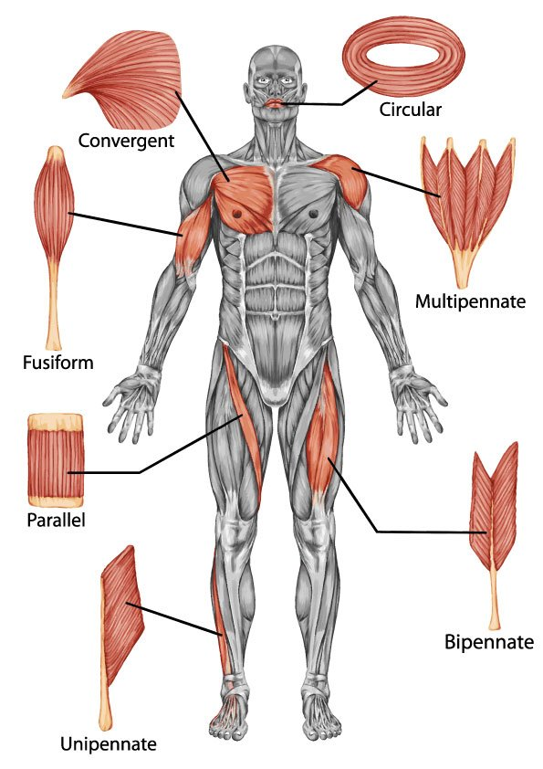 Teachpe On Twitter There Are A Number Of Different Muscle Shapes