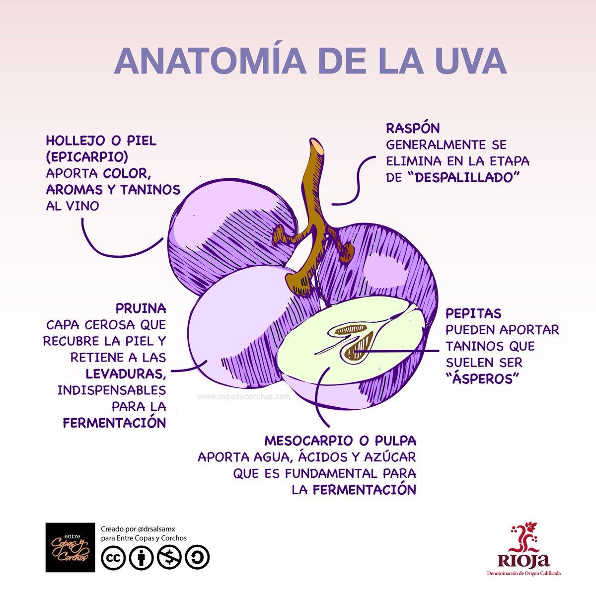 Fantástico Anatomía De Una Vid De Uva Festooning - Imágenes de ...