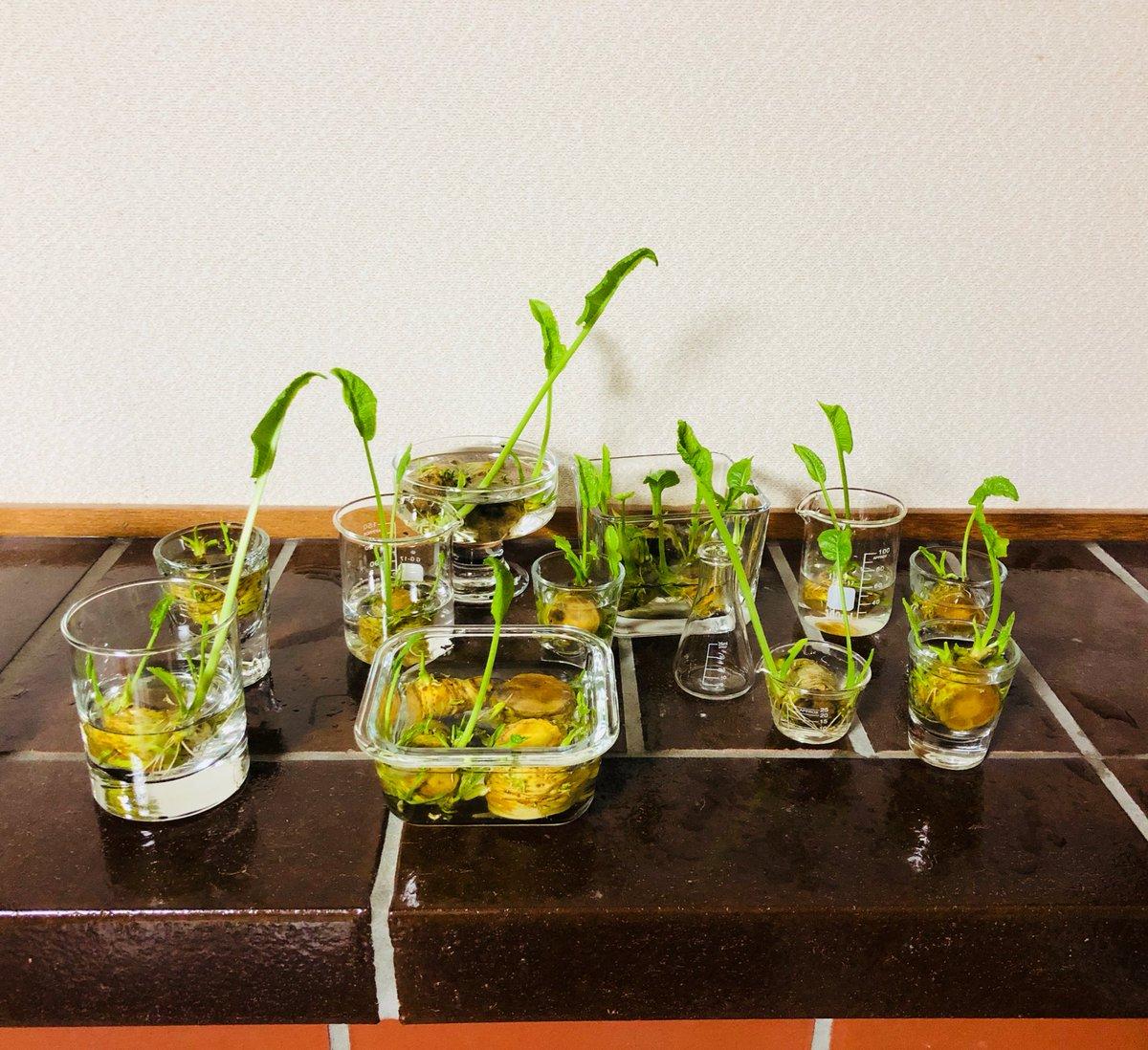 test ツイッターメディア - 増殖&成長中   #ホースラディッシュ #山わさび #ダイソー #水耕栽培 #水栽培 https://t.co/8tNlg7dEgJ