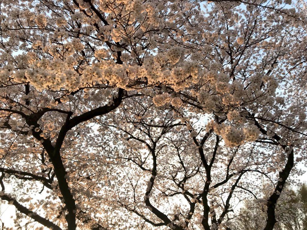 桜を見ながら帰ってる。近くにおっきなそめいよしのが咲いてた