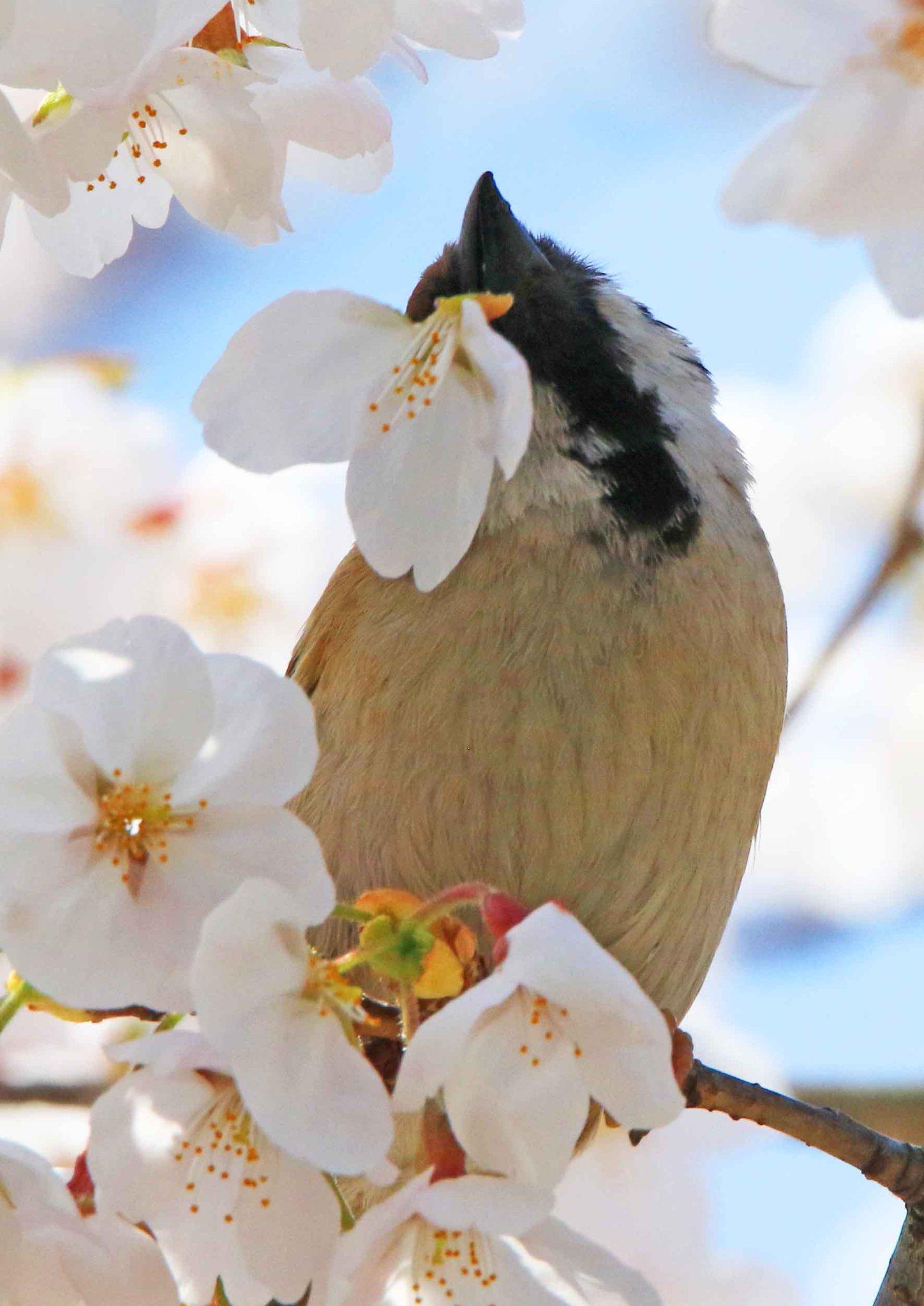 桜の花をもぎ取って、根元から蜜を吸っているすずめ。咲いたばかりの桜の花が、花ごと根元にポトリと落ちて来ることがありますが、実はこういうわけでした(。・ө・。)