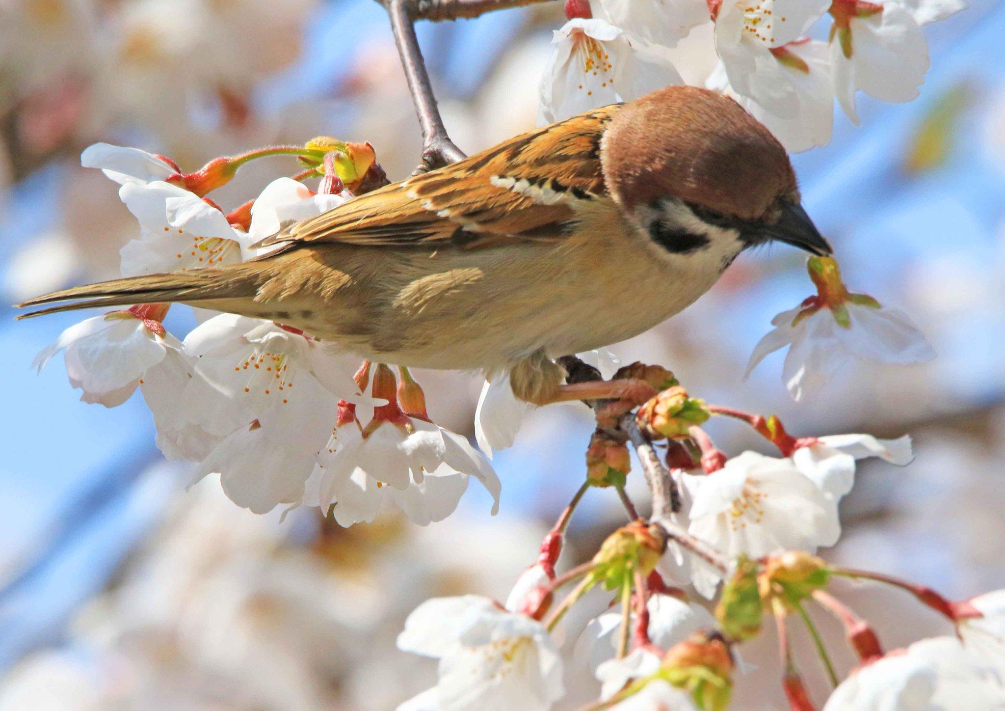 桜がぽとりと落ちている理由!スズメが美味しい蜜を上手に吸っているからだったw