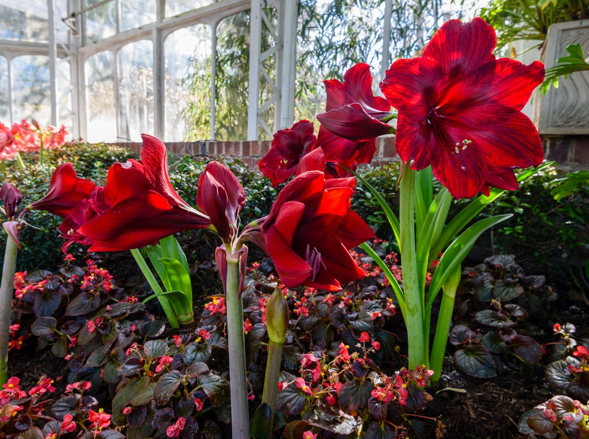Phipps conservatory and botanical gardens on twitter look out for in the south conservatory two of the biggest showiest blooms in this years spring flower show httpphippsnservatoryspring photo paul g mightylinksfo