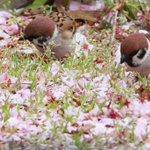 残っている花の蜜を探している雀!雅な姿に胸キュンする人急増!w