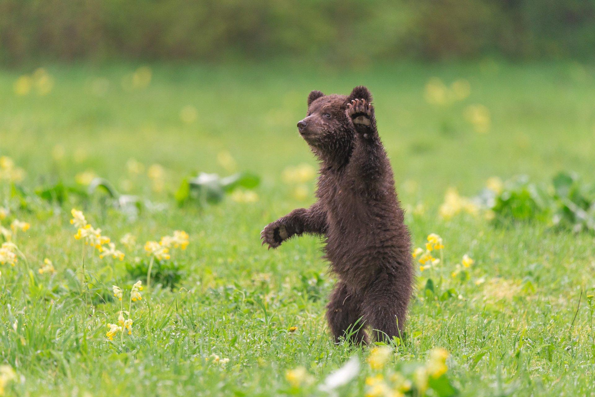 медвежата картинки привет спасет мир, спасем