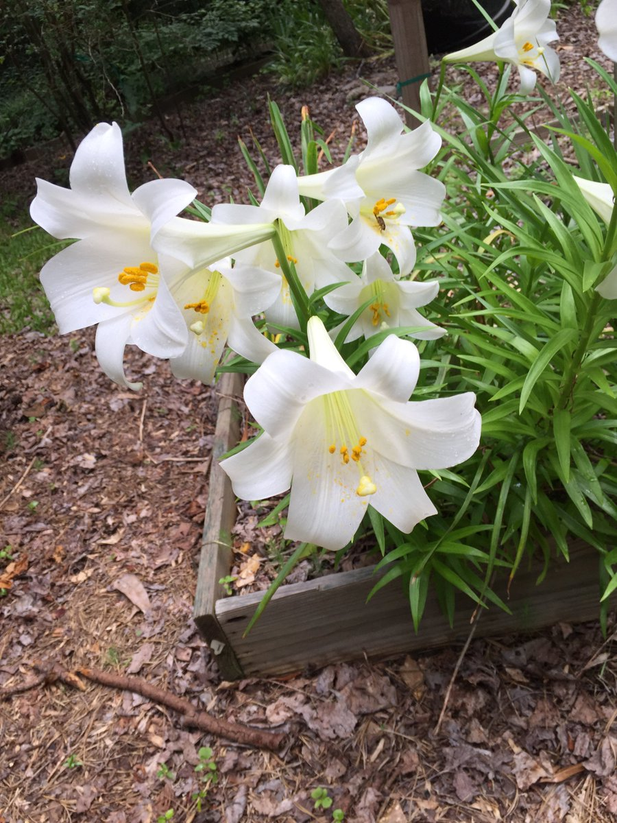Walter reeves walterreeves twitter i have tips on what to do with your lily after the holiday httpwalterreevesgardening q and aeaster lily care picitterygabywjzyp izmirmasajfo Image collections