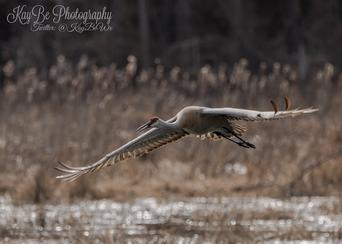 Great Egrets Lacy Courtship Birdnote >> Sandhillcrane Twitter Search