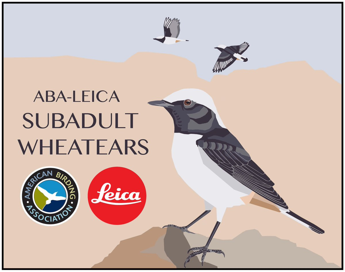 Birding Assoc On Twitter What To Know Flywaychampions Race Day Was Like For The ABA Leica Subadult Wheatears Follow Along At Blog