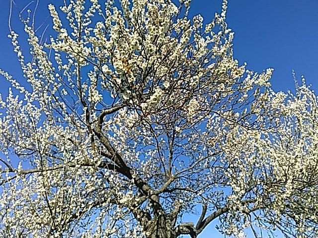職場が伊達市霊山なので ここから綺麗な桜🌸 画像です(〃∇〃) 綺麗ですね~🌼 散らないで欲しいw #伊達市 #霊山町 #道の駅近いよ👍