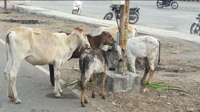 Crowd burn car taking cow-calves for butchering in Gujarat