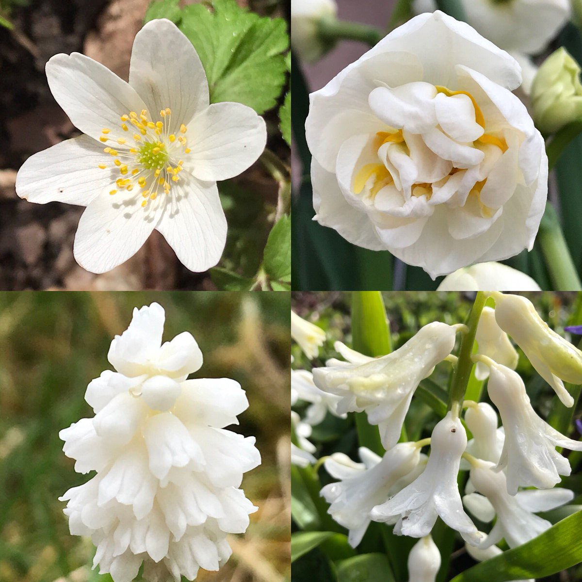 Louise midgley on twitter you cant beat pure white flowers often louise midgley on twitter you cant beat pure white flowers often scented and and easily seen from a distance flowers spring mightylinksfo