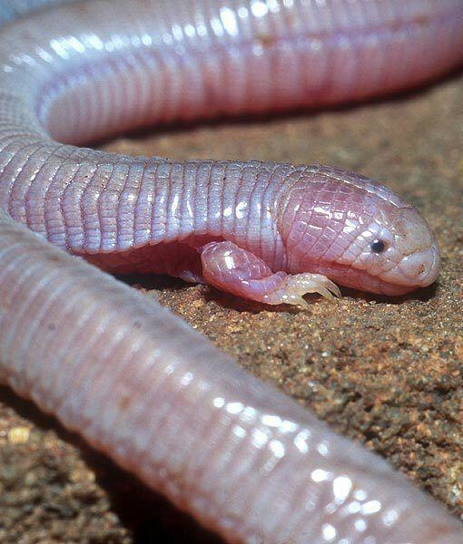 """DMAX España on Twitter: """"El lagarto topo mexicano es el único reptil  escamoso adaptado a la vida en el subsuelo que conserva solamente sus dos  patas delanteras.… https://t.co/89dCPiJA4F"""""""