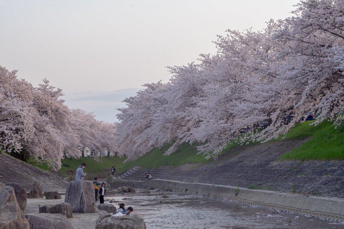 京都に泊まるはずがホテルがどこも一杯で、奈良の駅から遠いホテルしか取れなくて萎えてたんだけど、奈良の桜がめっちゃ咲いてて京都行ってる場合じゃねぇ!