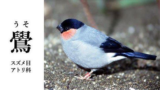 スズメ目アトリ科の鳥、ウソ。