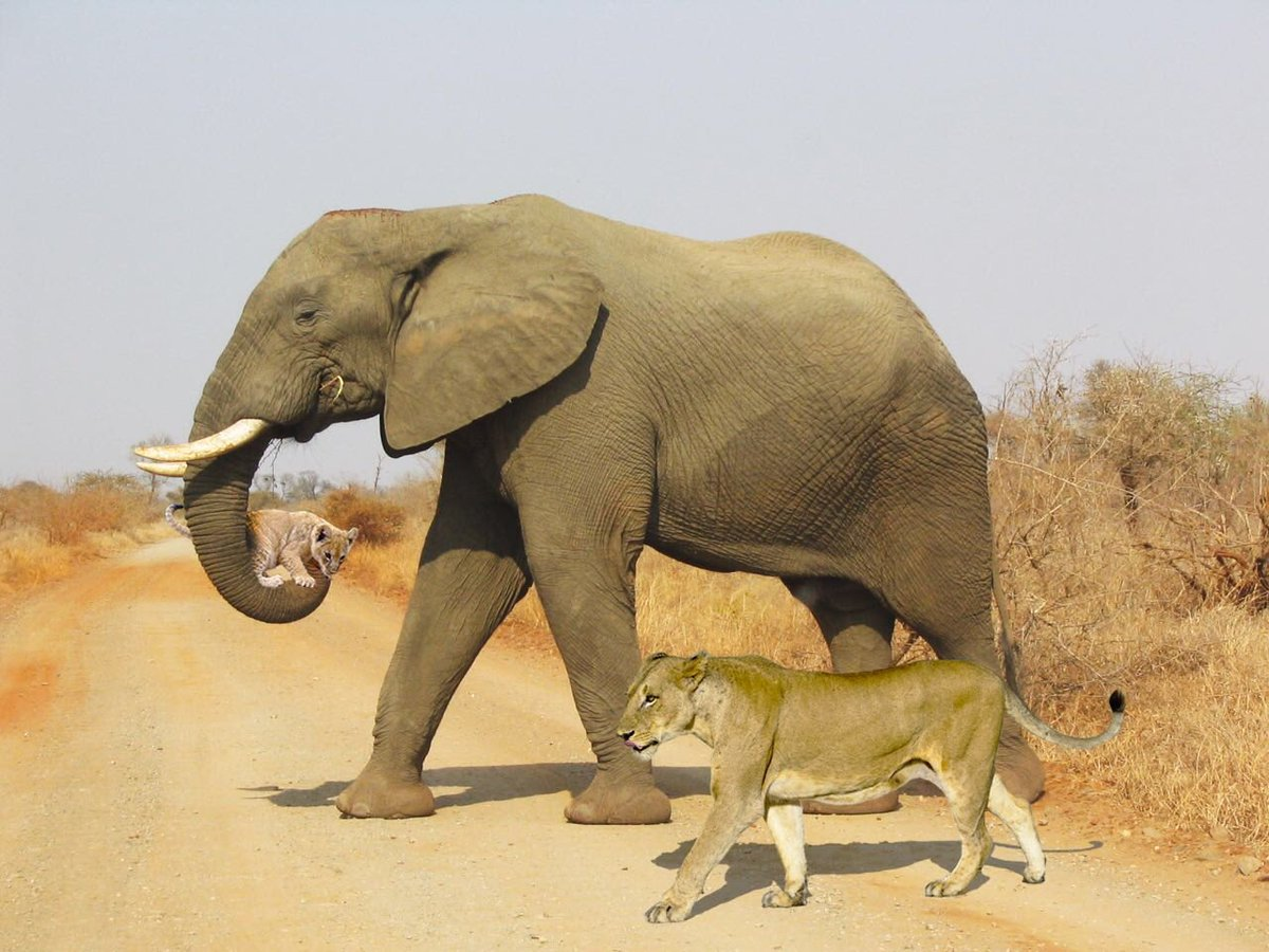We were following a lioness carrying her cub & she was getting really tired. An elephant showed up wanting to help the lioness. The elephant put its trunk down, the cub jumped up & the elephant carried the lion cub!! S28, 3km from S entrance Tinged by Sloof Lirpa