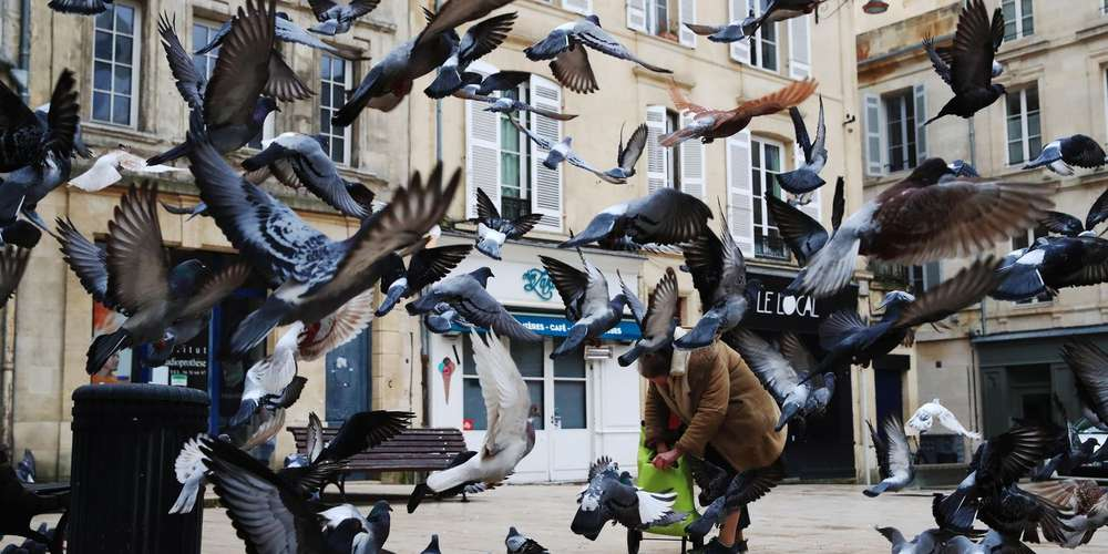 pigeons info en direct news et actualit en temps r el photos et vid os sur. Black Bedroom Furniture Sets. Home Design Ideas