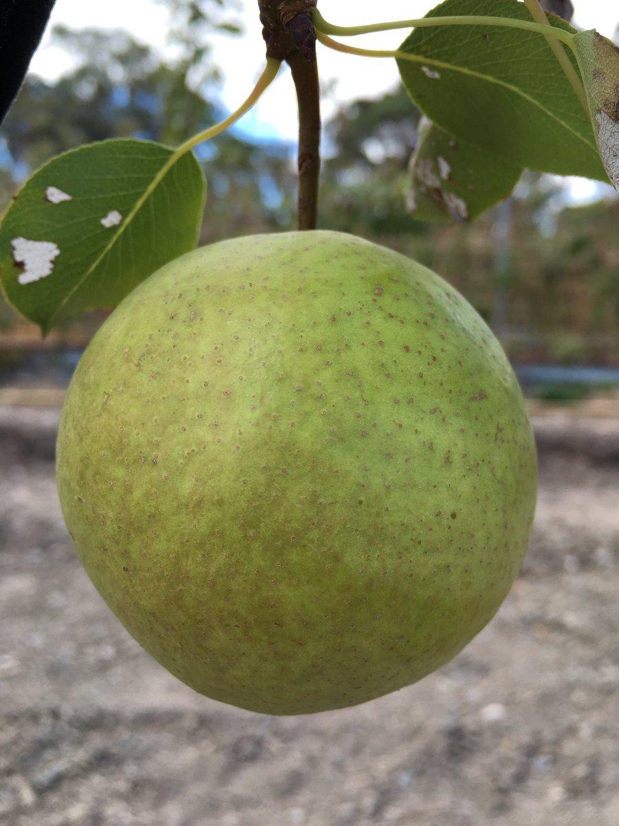 Heritage Fruit Trees on Twitter: