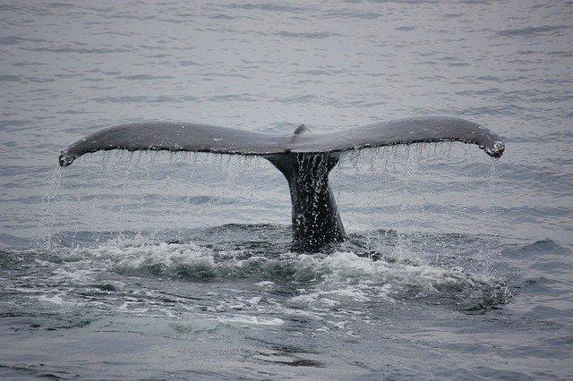Alrededor de 50 ballenas piloto fueron encontradas muertas en una playa al oeste de Islandia y la razón de su fallecimiento podría ser que esta especie pierde la orientación al entrar en aguas poco profundas. • #Notimex