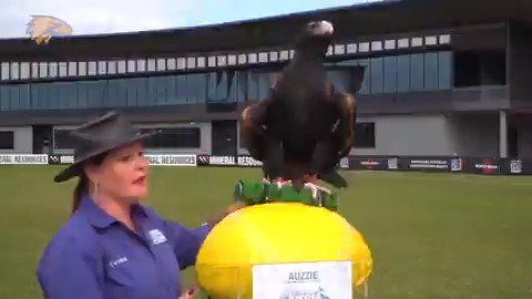 Image for the Tweet beginning: Auzzie the Eagle is making