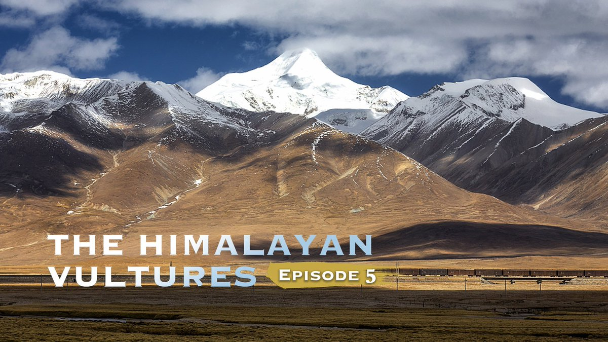 The Himalayan vultures: Growing up https://bit.ly/2LtJVmh