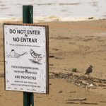 Image for the Tweet beginning: The endangered piping plovers on