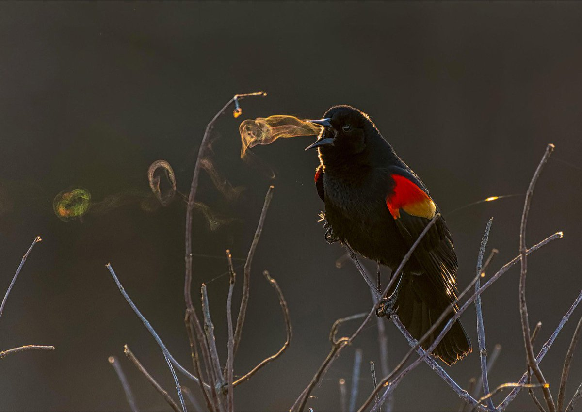 This is what the bird song of the red-winged blackbird looks like. Photo made possible by a combo of birds breath as it sings out & a very cold morning—plus Kathrin Swoboda, winner of the @audubonsociety Photography Awards: bit.ly/2JGYQYp