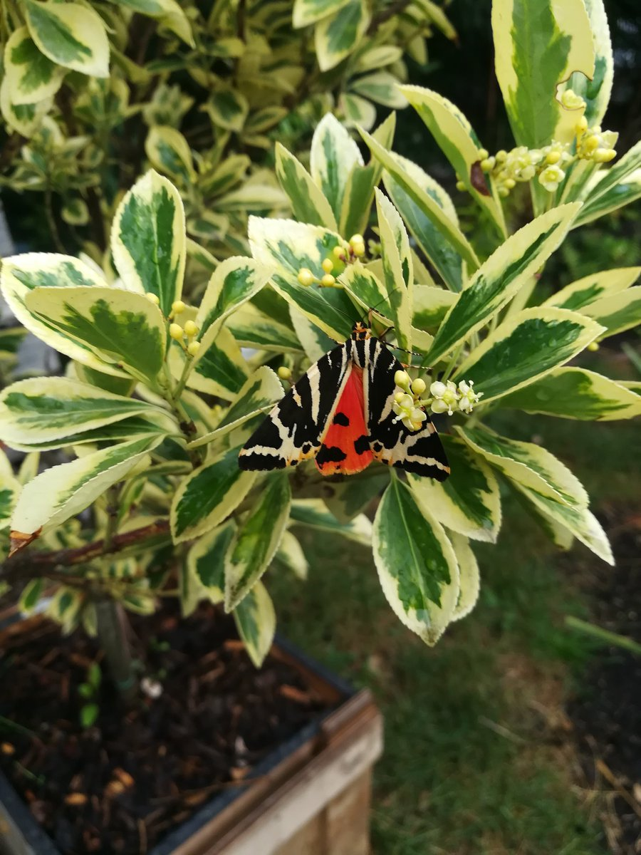 A few of the fabulous insects seen in the @growingforgold Christchurch School Community Garden this week. Jersey Tiger moths are a first for us and a couple of bumblebees checking out various flowers. #Greenwichforinsects<br>http://pic.twitter.com/j4iP3y8Ddz