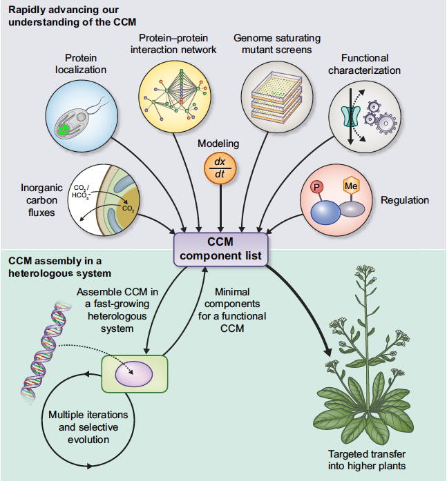 Looking for a talented postdoc to work on understanding and engineering a CO2 concentrating mechanism into C3 plants:  https://www. jobs.ac.uk/job/BTJ385/pos tdoctoral-research-associate  …  Deadline 29th July. Please share #postdoc #plantsci #algae<br>http://pic.twitter.com/CuAfLXWj2a