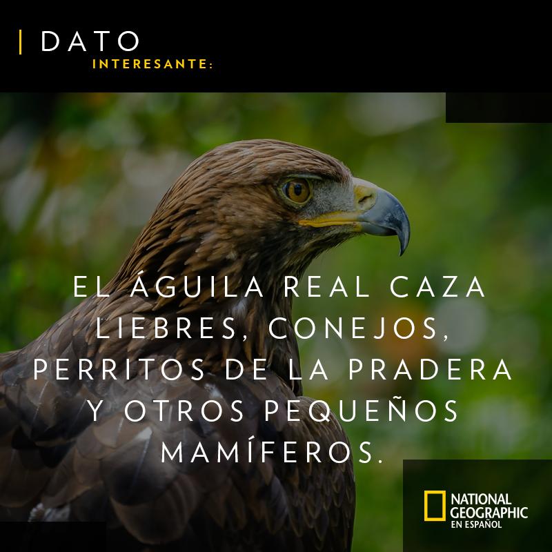 ¿Sabes de qué se alimenta el águila real? #BuenViernes https://t.co/QHS7mMxpKz