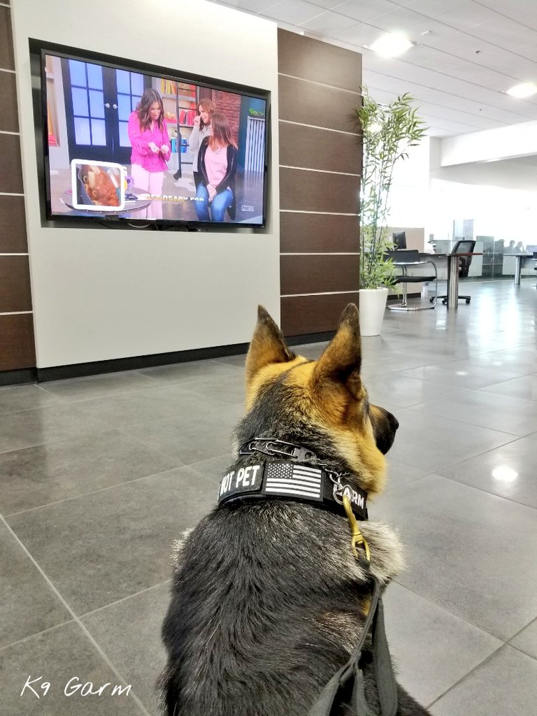 Time for the #MooseMobile to get an oil change which means we sit in the AC and watch terrible morning shows on their tv #K9Garm #SARK9 #dogsoftwitter #dog #dogs #germanshepherd #gsd #moosedog #FaMoose<br>http://pic.twitter.com/8tU2ggDPZ3