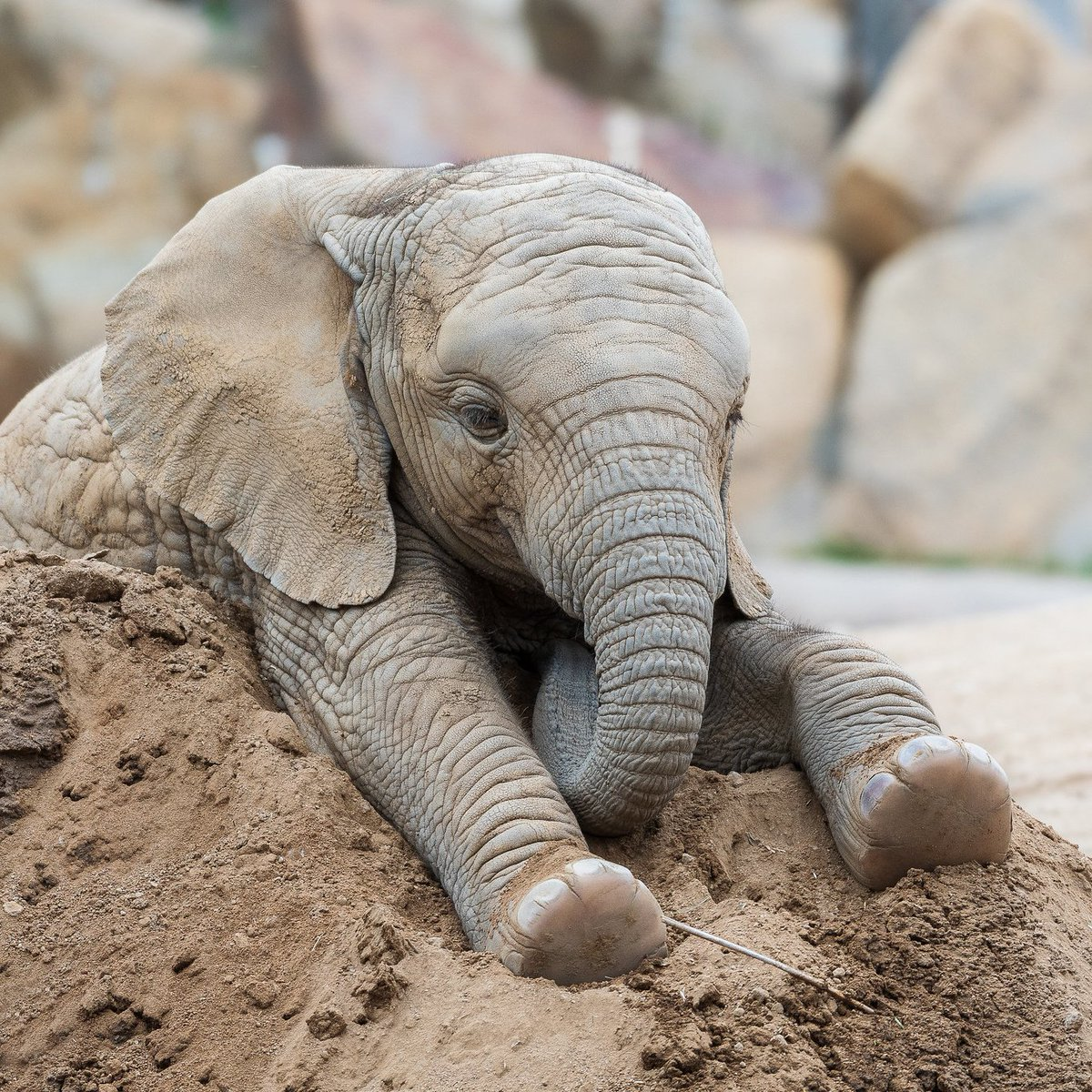 One elephant's dirt pile is another's elefun.  #queenofthehill #pachydermpair  : Todd Lahman <br>http://pic.twitter.com/cVip73Fl1H