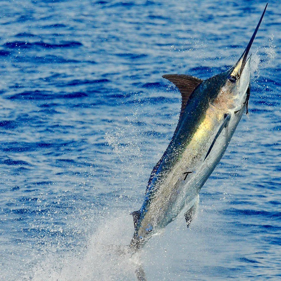 Kona, HI - Last Chance has released 7 Blue Marlin over 3-Days.