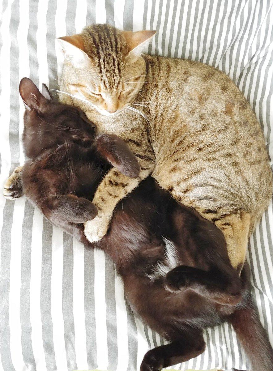 458日目。なにかと誰かの傍に居たがる黒猫。くっついていなくても同じ部屋であったり、近くであったり、やっぱりくっついていたかったり。留守時や構えない時、クールながら面倒を見てくれるキジトラに感謝だなと思いながら片付けついでに部屋を覗いたら、黒猫に腕枕してふたりして寝ていた。平和。
