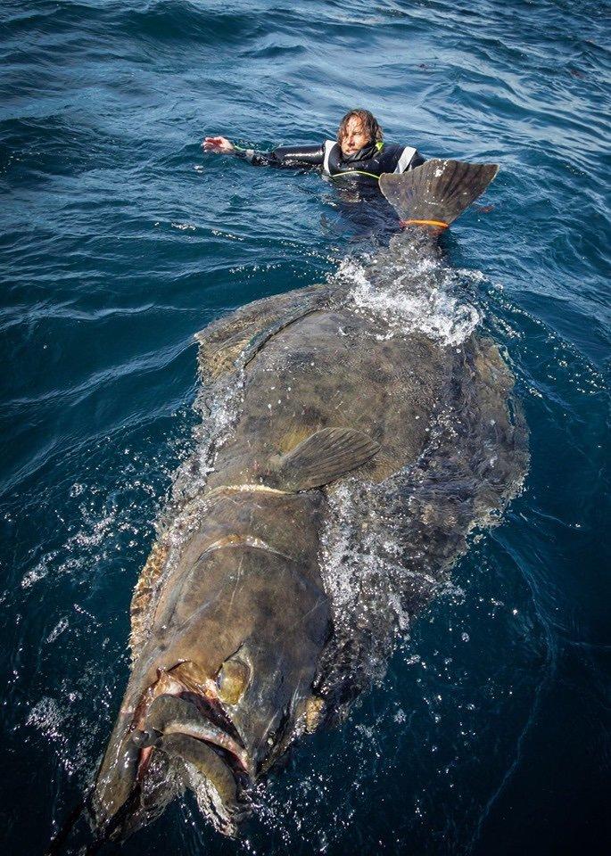 ノルウェーで釣り上げられた超巨大魚がこちら!「タイセイヨウオヒョウ」というカレイ・ヒラメ類の魚で全長2.5m・体重190kgの大物だったようです。