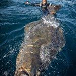 「タイセイヨウオヒョウ」・ノルウェーで釣り上げられた超巨大魚!!
