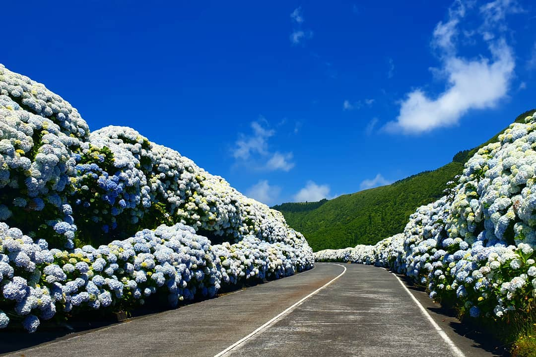 What description would you give to this photo?? #azoresislands #azores #azoreswhatelse #paradise #picoftheday #travel #hydrangeas #vacation #atlantivacations #tailoredtrips 📷@maga_lib