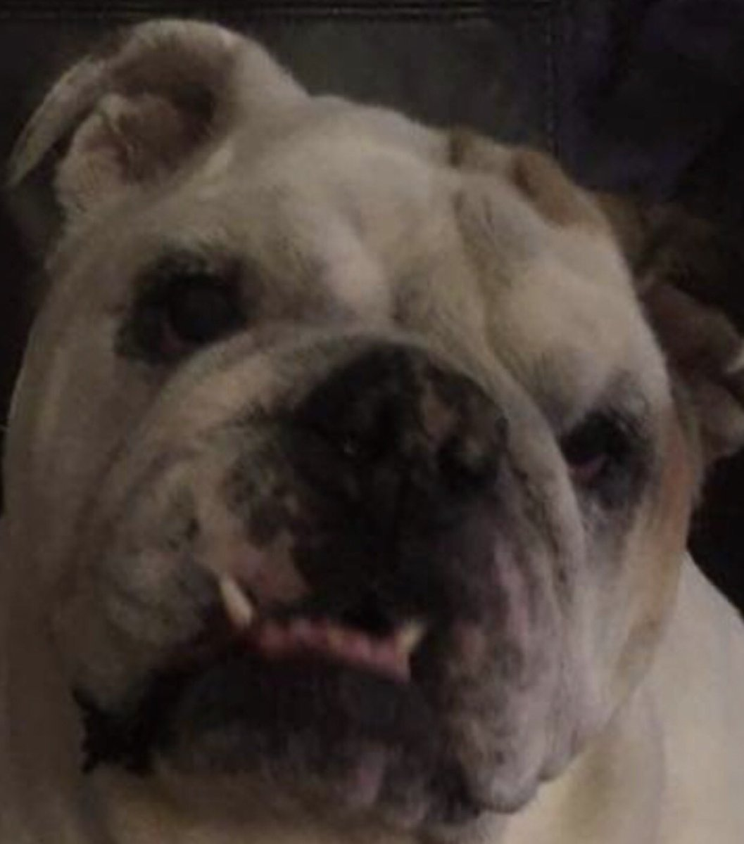 If you want to stay Healthy.. You have got to eat a Balanced Diet A Biscuit in one Paw...Burrito in the other...that should do it..Balanced.. Love, Gertie the Bulldog  #gertiethebulldog #BalancedDiet #biscuits #SaturdayThoughts #dogsoftwitter #catsoftwitter #bulldog #Dog<br>http://pic.twitter.com/qo3qORE2f8