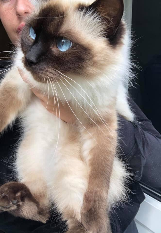 Dolly £100 reward if I am contacted and she is found. She must be around somewhere! If somebody is feeding her / seen her please let me know and contact me privately. Missing since 14th July from Barwell Hinckley Leicestershire <br>http://pic.twitter.com/lGRU6jP5BJ