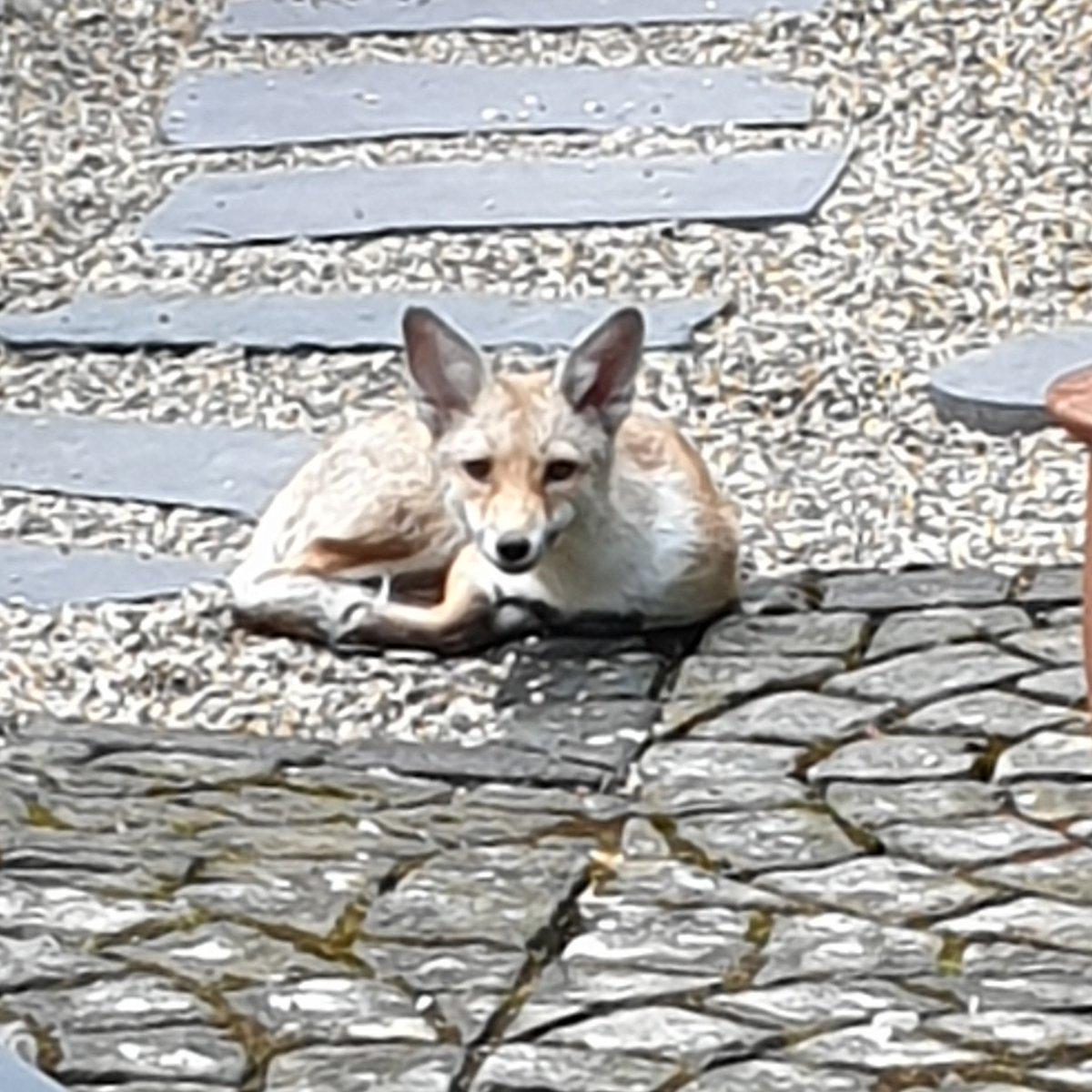 Good morning, Reynard! #foxnews #urbanfox #fox #lazysaturday #nature #Wimbledon #garden #smile @mirabarhillel